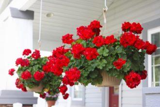 gerani in vaso per decorare la casa
