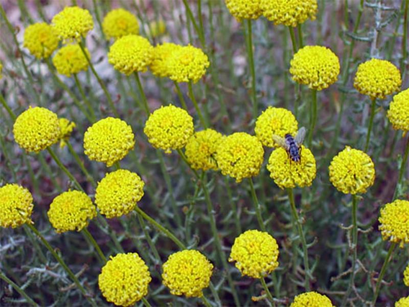 pianta di abrotano fiorita